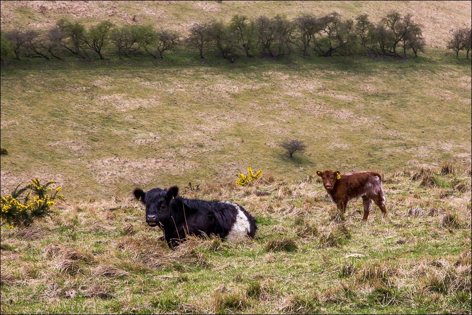 Wolds Way, belted galloway